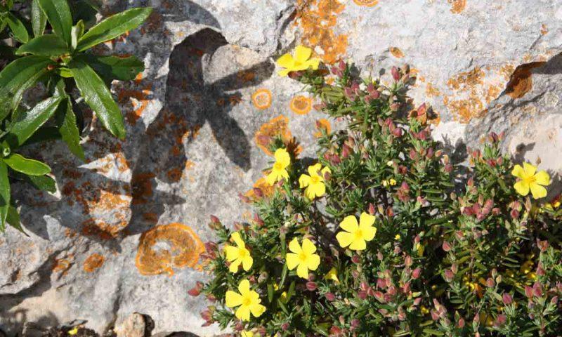 Frühling in der Algarve, gelbblühende Blumen sind auf bemoosten Stein.