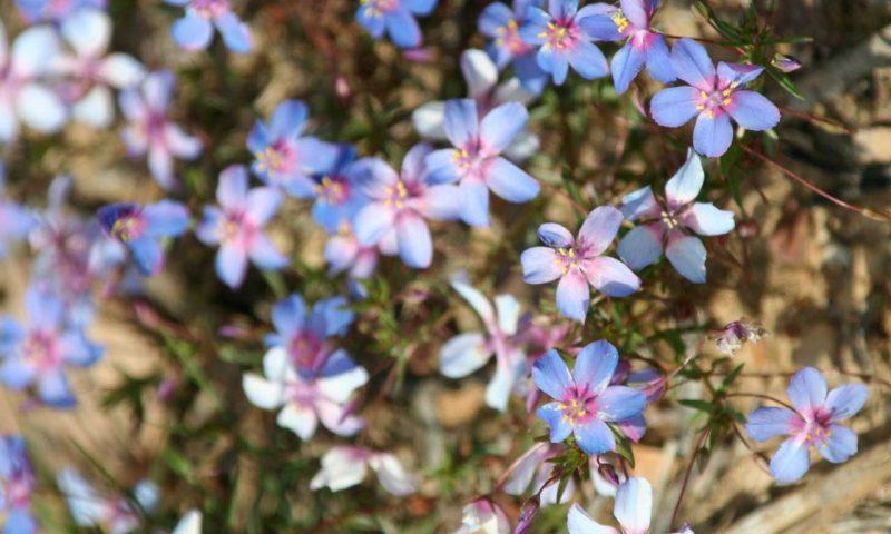 Frühling in der Algarve mit kleinen, violetten Blumen die an einem der unzähligen Büsche blühen.