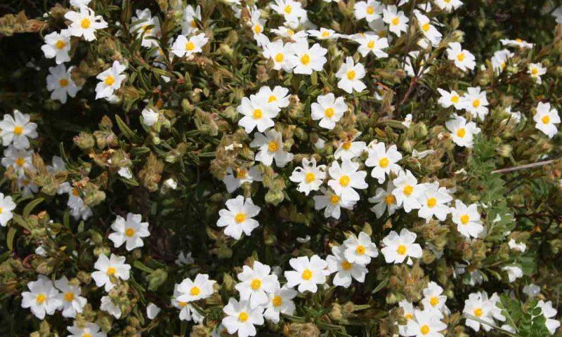 Frühling in der Algarve mit kleinen, weißen Blumen die an einem der unzähligen Büsche blühen.