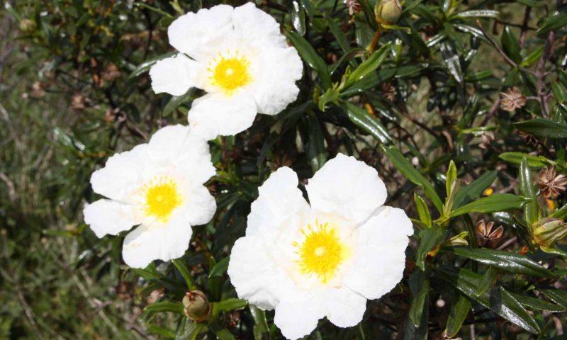 Frühling in der Algarve, hübsche , große und weiße Blume